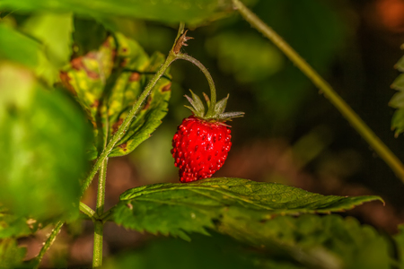 Berry strawberries growing in the summer forest.