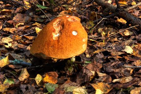 The aspen mushroom growing in the summer wood.