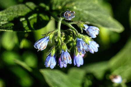 A flower of a comfrey blooming on a summer meadow.