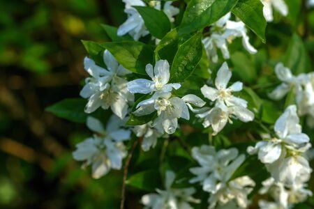 Flowers of the philadelphus blossoms in the summer garden.