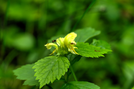 A flower of the dead-nettle blossoming in the spring wood. Stok Fotoğraf