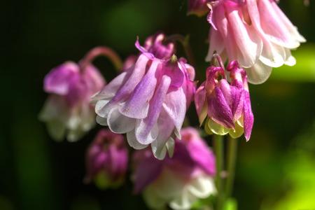 The aquilegia flower blossoming in a summer garden.