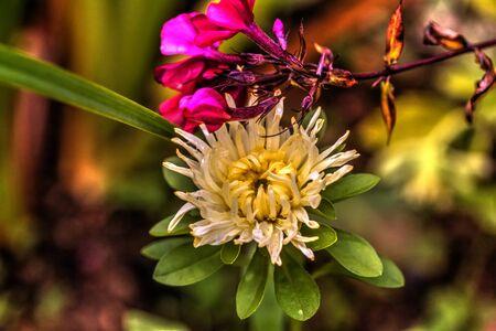 The aster flower growing in a summer garden.
