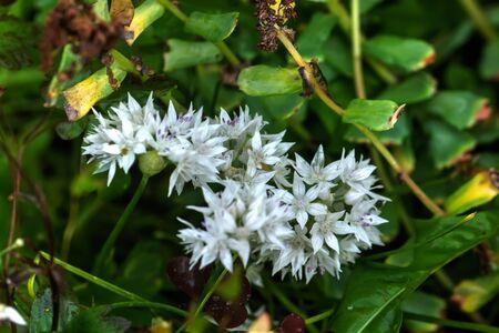 The flower of a Hydrangea growing in a summer garden.