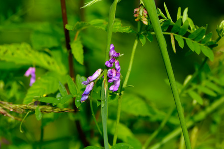 The flower of a Vicia cracca growing in a summer meadow.