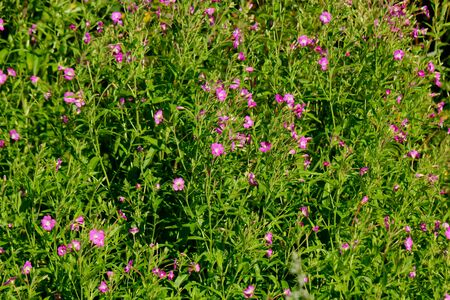 The willow-herb flower growing on a summer meadow.