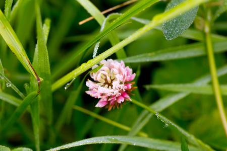 Trifolium repens. Field flower. The dutch clover flower growing on a summer meadow.