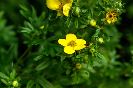 The silverweed flower growing in a summer garden. Stock Photo