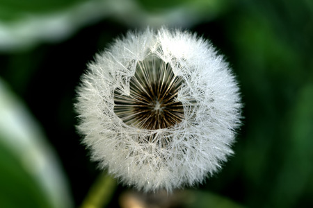 The deflowered flower of a dandelion growing on a summer meadow.