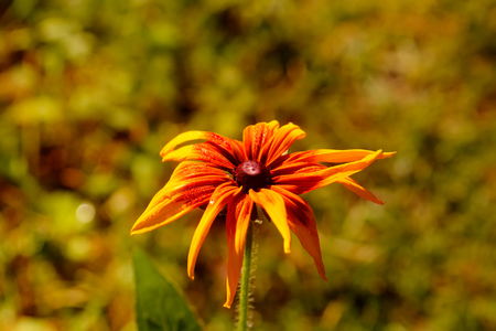 Rudbeckia hirta. Cultivated flower. A flower of the black-eyed Susan growing in a summer garden. Stock Photo