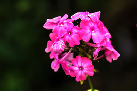 The flower of a red phlox growing in a summer garden.