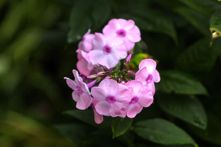 The flower of a pink phlox growing in a summer garden.