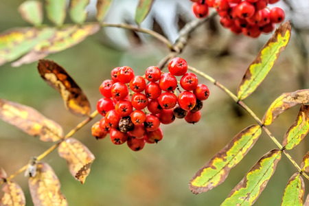 Berries of the mountain.