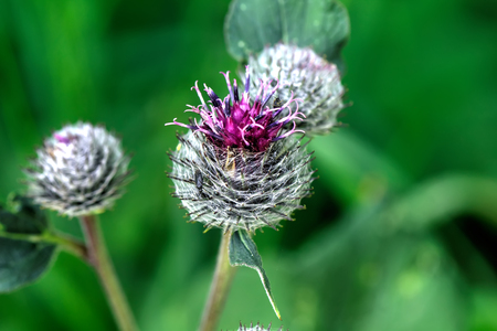 Flowers of a burdock of the summer.
