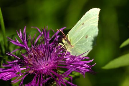 Butterfly Gonepteryx rhamni. Field flower. A brimstone butterfly sitting on a flower growing on a summer meadow.