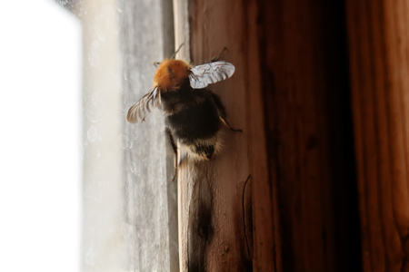 The bumblebee sitting at a window in the early spring.