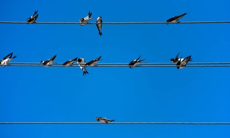 Group of swallows on wires with blue sky
