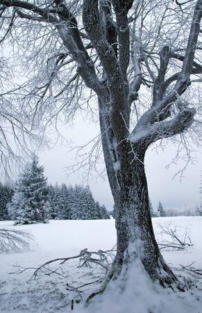 snowbound: Frozen tree snowbound in winter with snow and ice