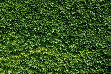 Ivy wall full picture of ivy