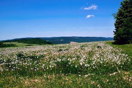 faded: Meadow full of faded dandelions