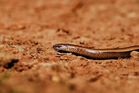 anguis: Slow worm creeping on ground