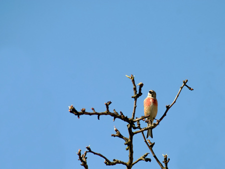 Pink linnet bird sitting on a branch Stock Photo