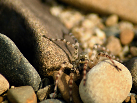 Wolf spider among a stones and rocks Stock Photo