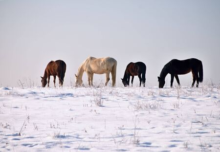 Grazing horses in snowy country