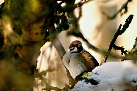 Field sparrow in bush with snow