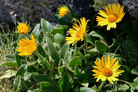 Group of yellow flowers of wild arnica in mountains Stock Photo