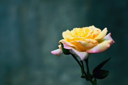 Colorful rose in front of gray wall
