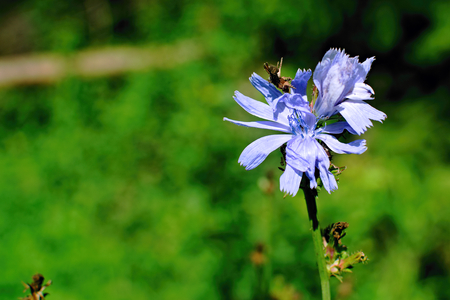 Closeup chicory blooming in the meadow