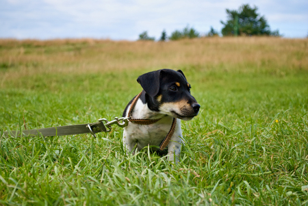 Small dog with leash in meadow Stock Photo