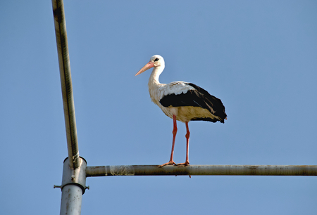 White stork sitting on a pole