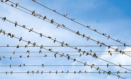 A lot of swallows sitting on wires