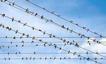 golondrinas: Una gran cantidad de golondrinas sentado en los cables