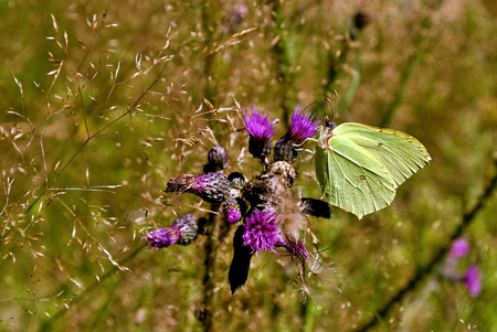 Yellow butterfly drinks nectar on a purple flower