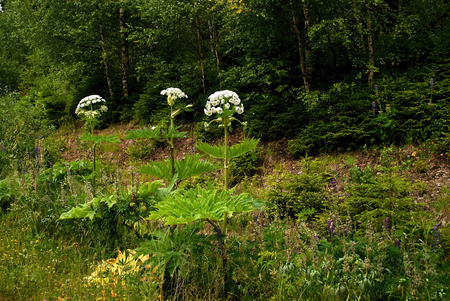 invasive: Group of invasive hogweed in forest