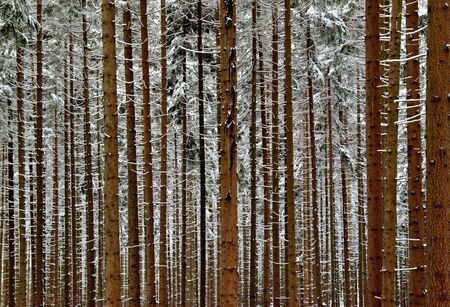 Snowy trunks of spruce trees