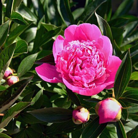 Pink flower, peony in the garden