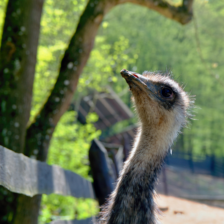 Curious look ostrich in farm Stock Photo