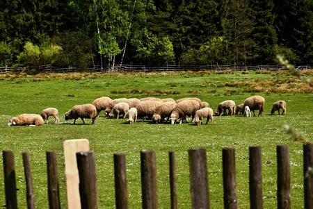 grou of grazing sheep
