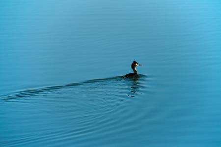 single duck on water surface Stock Photo