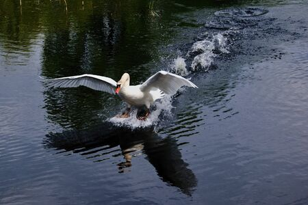 White swan landing on the surface of a pond Stock Photo