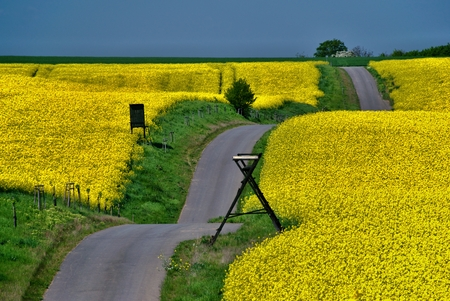 Yellow rape field with an undulating path and blue sky