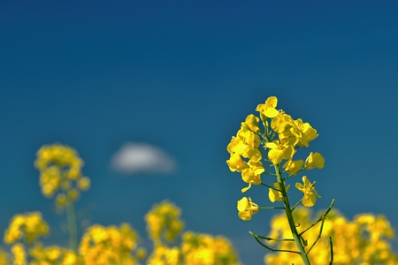 Yellow rape undër blue sky Stock Photo