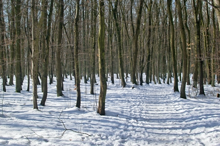 Snowy beech forest with sunshine and shadows Stock Photo