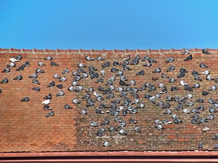 Flock of pigeons on a roof under blue sky