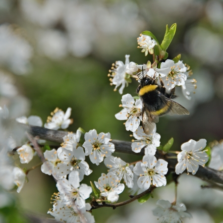 A bumblebee pollinating the white flowers of a fruit tree Stock Photo