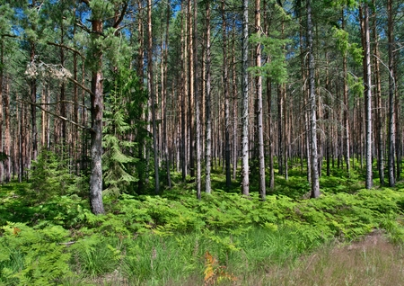 a sunny pine forest with lots of ferns